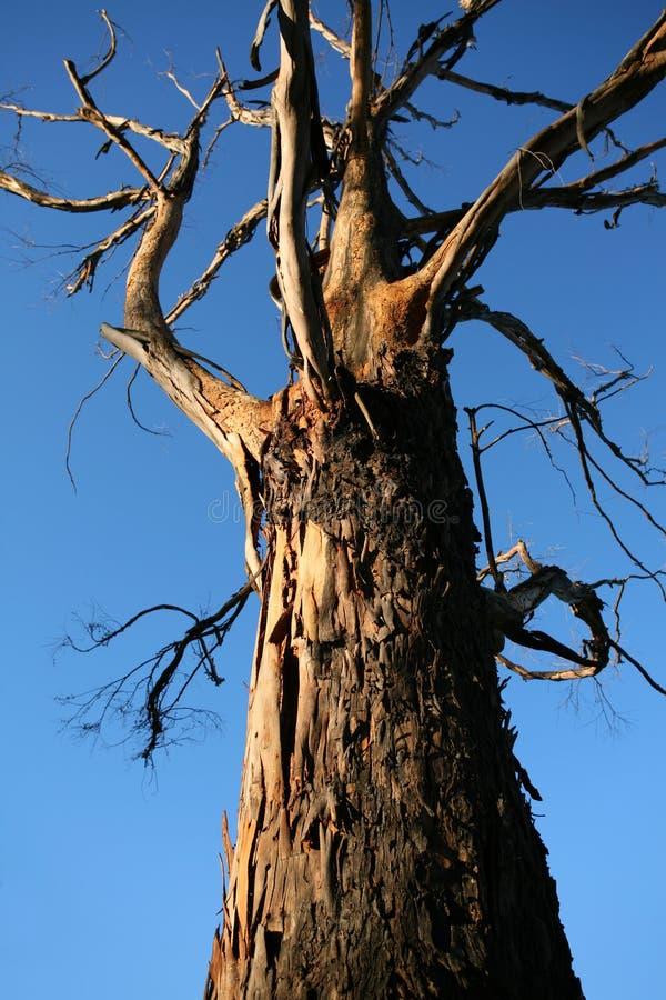 Vieil arbre noueux image stock