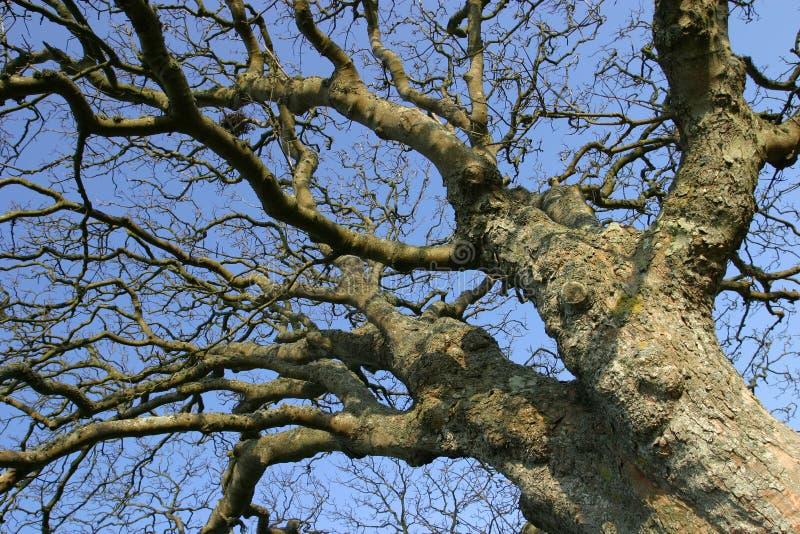 Vieil arbre noueux images libres de droits