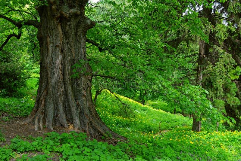 Vieil arbre puissant image libre de droits