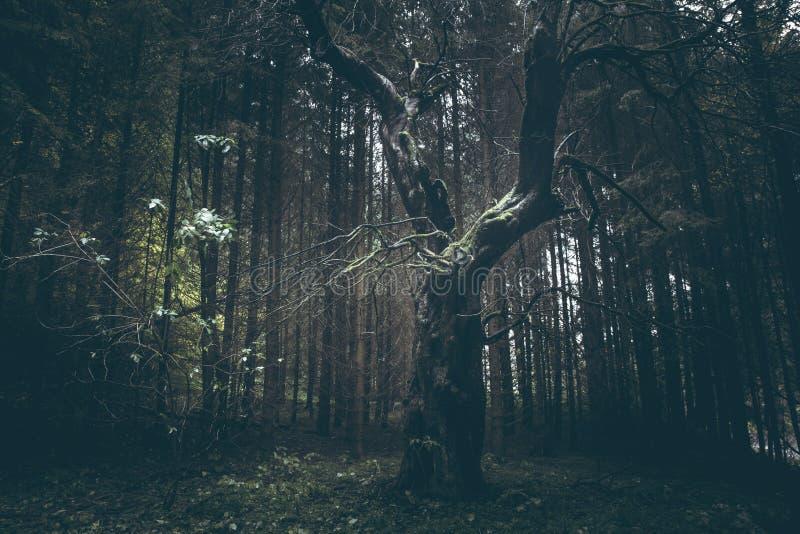 Vieil arbre rampant dans la forêt brumeuse foncée images libres de droits