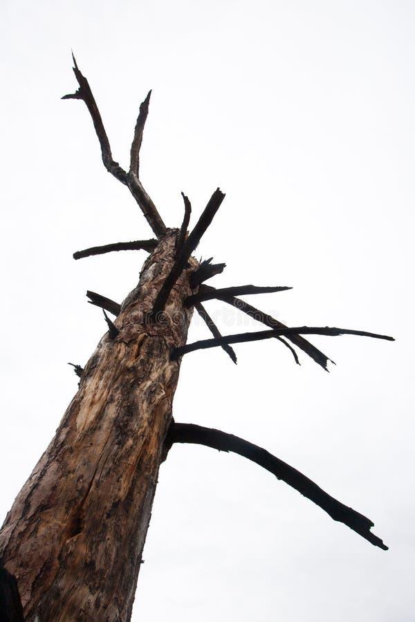 Vieil arbre sec contre un ciel blanc Photo d'isolement photos stock