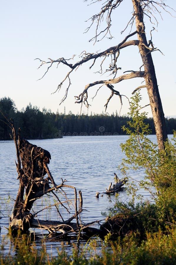 Vieil arbre sur le rivage photo libre de droits