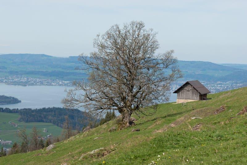 Vieil arbre sur une montagne Rigi avec la vue sur le lac Lucerne en Suisse Paysage de lac luzern image libre de droits
