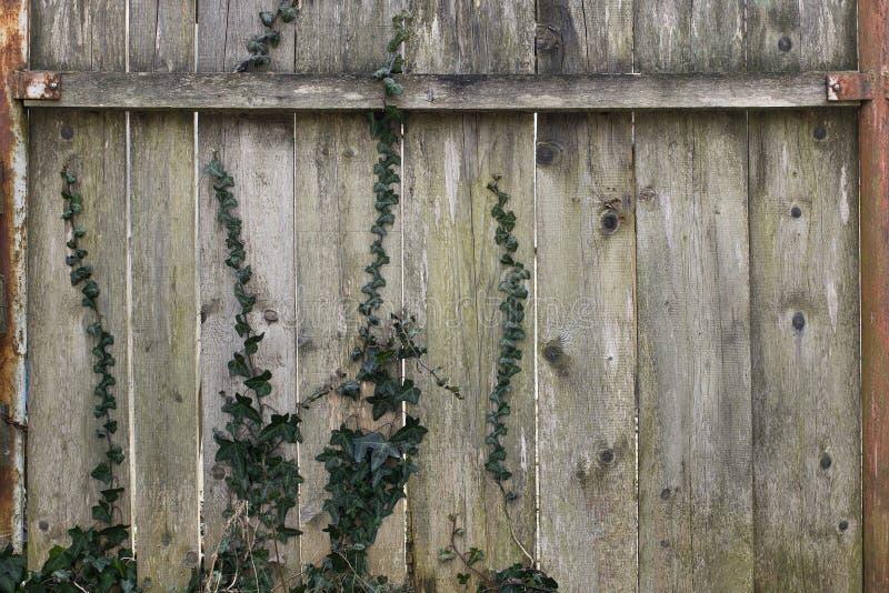 Vieil esprit en bois de barrière une certaine vigne de lierre rampant  image libre de droits