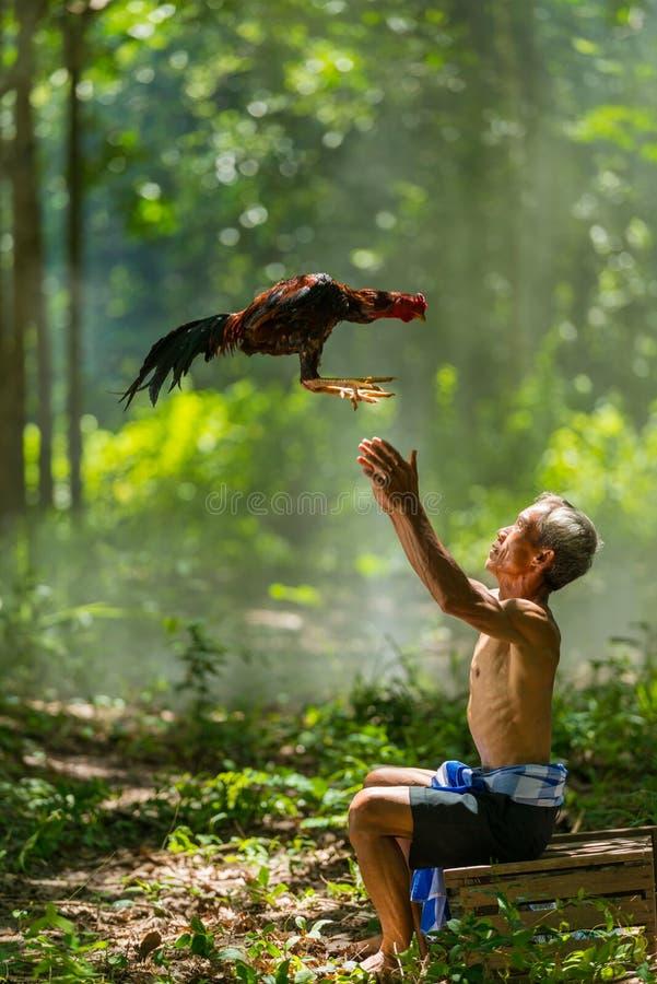 Vieil homme rural jouant avec le coq de combat domestique photo stock