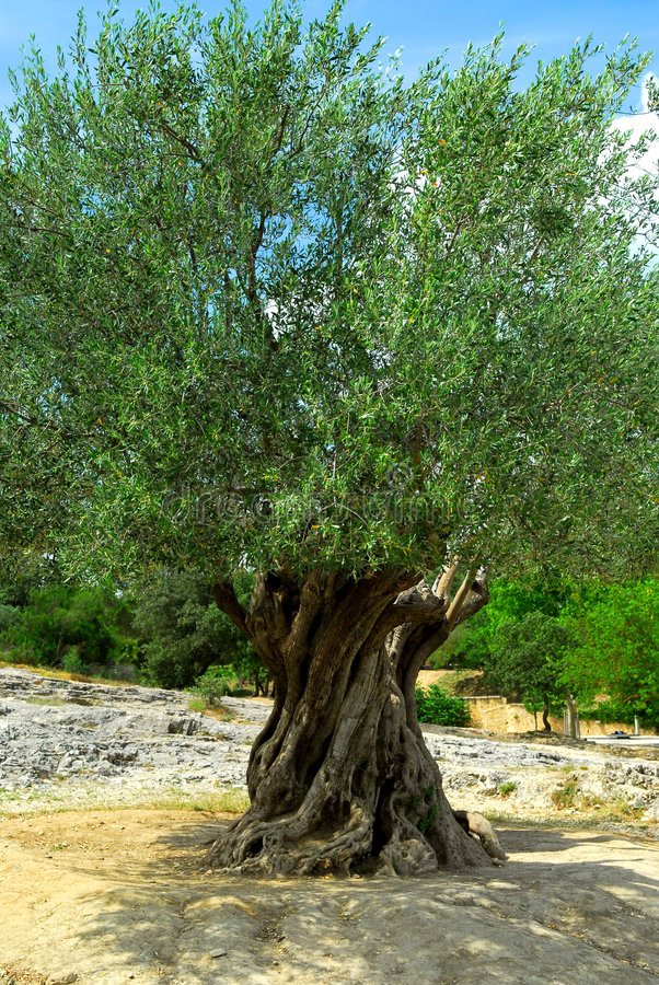 Vieil olivier photo libre de droits