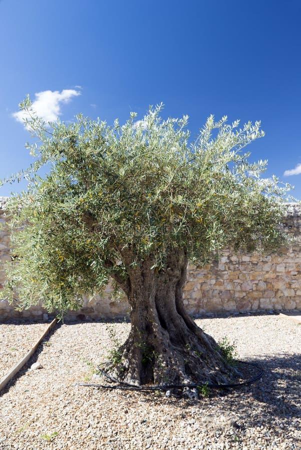 Vieil olivier photographie stock libre de droits