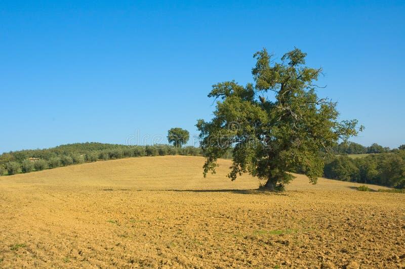 Vieil olivier dans un domaine photographie stock
