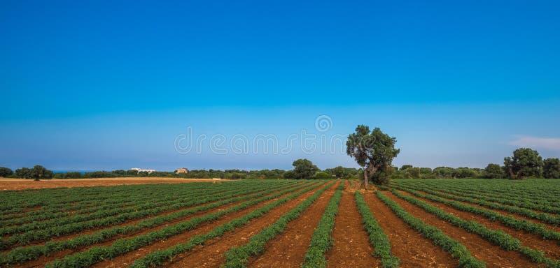 Vieil olivier dans un domaine - lanscape toscan typique image libre de droits