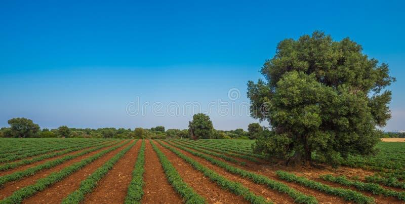 Vieil olivier dans un domaine - lanscape toscan typique images stock