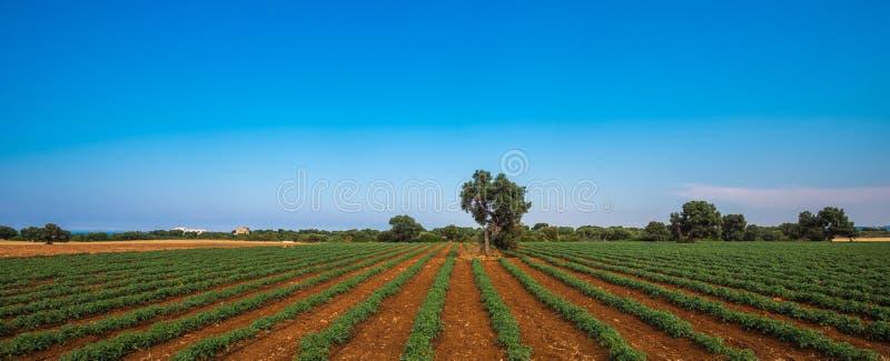 Vieil olivier dans un domaine - lanscape toscan typique images libres de droits