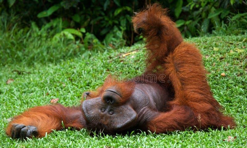 Vieil orang-outan masculin se trouvant sur l'herbe Pose drôle l'indonésie L'île de Kalimantan Bornéo images stock