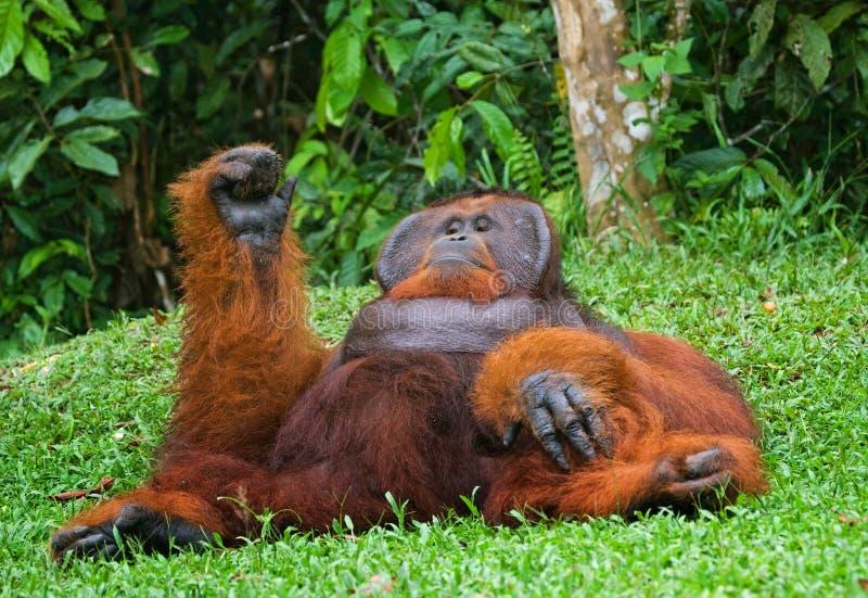 Vieil orang-outan masculin se trouvant sur l'herbe Pose drôle l'indonésie L'île de Kalimantan Bornéo photo libre de droits