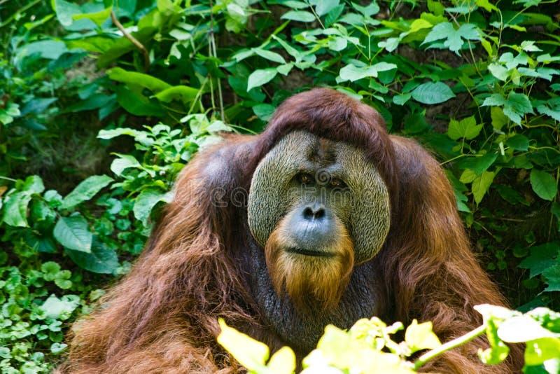 Vieil orang-outan se reposant à la nuance photos stock