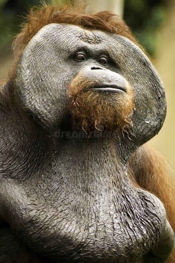 Vieil orang-outan Utan photo libre de droits