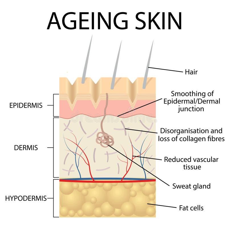Vieille anatomie de peau illustration stock