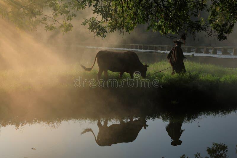 Vieille avance d'agriculteur les bétail sous le banian antique photos stock