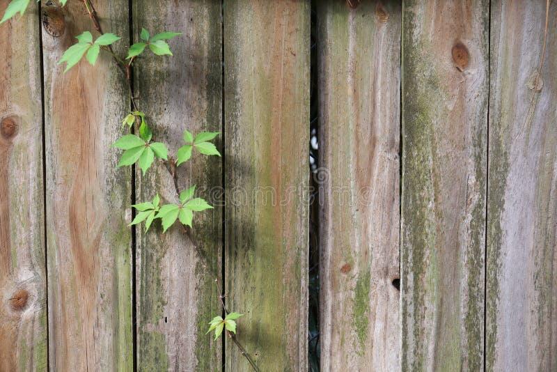 Vieille barrière avec la viticulture en bas de elle photos libres de droits