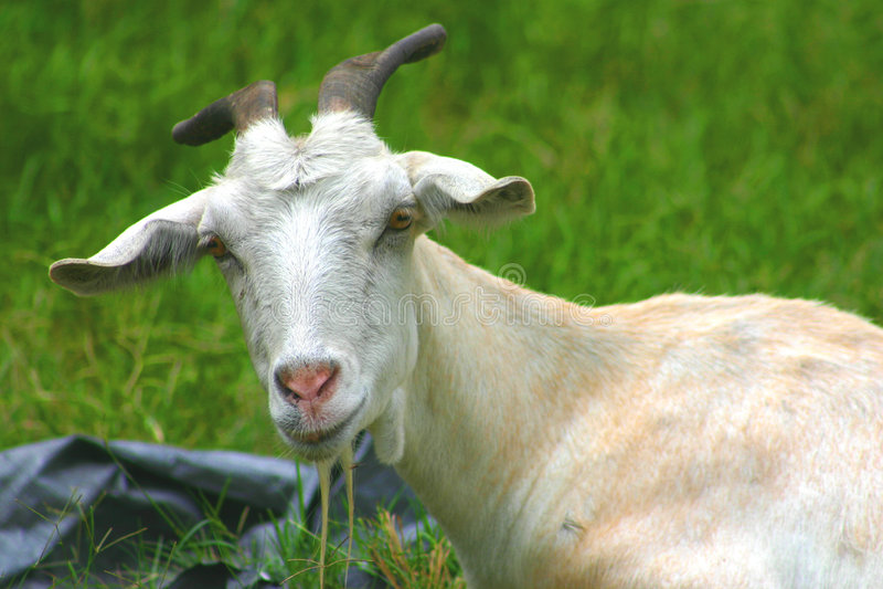 Vieille chèvre image stock