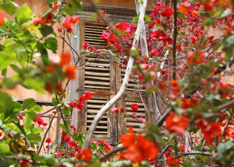 Vieille fenêtre en bois et fleurs de floraison de bouganvillée chez Nafplio Argolis Grèce photos stock