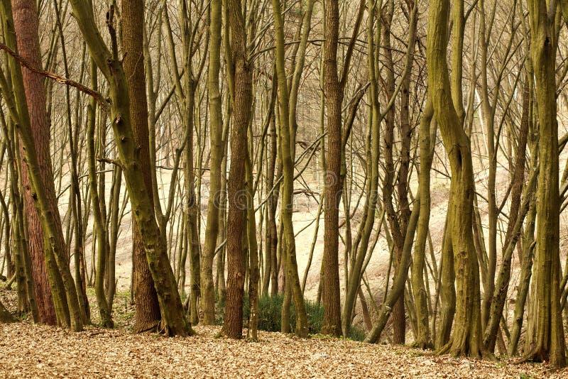Vieille forêt à feuilles caduques de paysage avec des arbres photos libres de droits