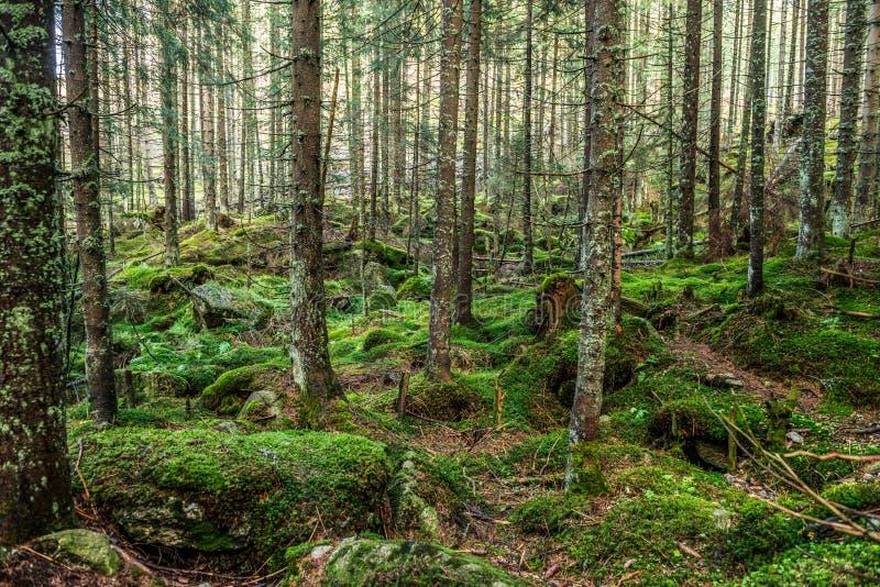 Vieille forêt dans la montagne - pierres, mousse et pins, parc national de Tatry, Zakopane, Pologne image libre de droits