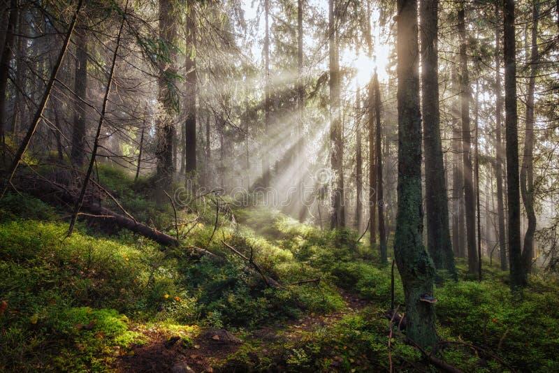 Vieille forêt magique d'automne avec des rayons du soleil images stock