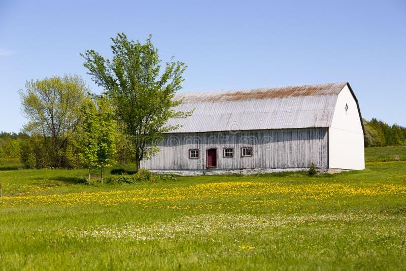 Vieille grange en bois réglée dans le domaine couvert en pissenlit en fleur de surface boisée à l'arrière-plan photos stock