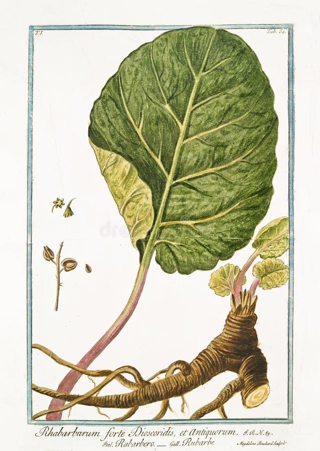 Vieille illustration botanique d'usine de Dioscoridis de forte de Rhabarbarum photos stock