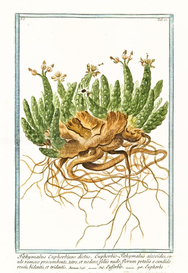 Vieille illustration botanique d'usine d'euphorbium de Tithymalus images stock