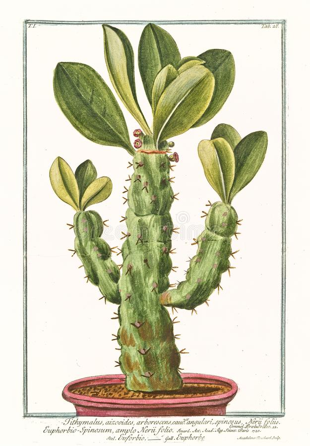 Vieille illustration d'usine d'angulari d'arborescens d'euphorbium de Tithymalus photos stock