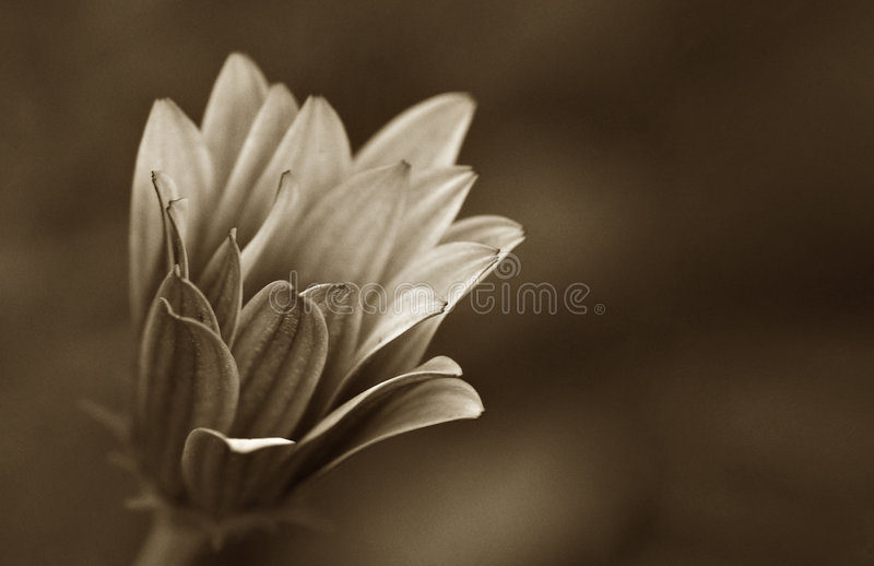 Vieille image de brun de fleur de marguerite image stock