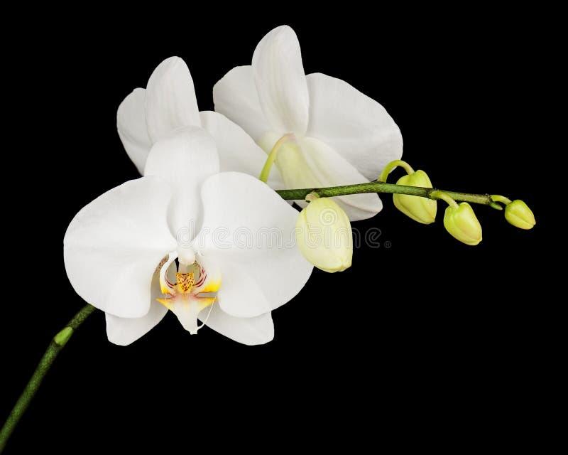 orchidee blanche fond noir