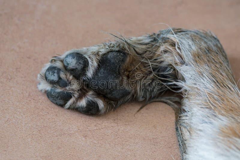 Vieille patte de chien se trouvant sur le plancher photographie stock