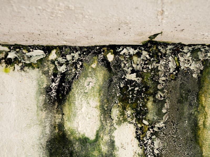 Vieille peau de peinture de mur provoquée par l'eau du toit Lichen vert collant sur le mur images libres de droits