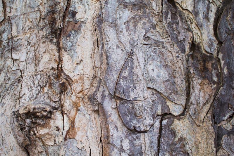 Vieille photo de texture de plan rapproché d'écorce de chêne Plan rapproché rustique de tronc d'arbre photos stock