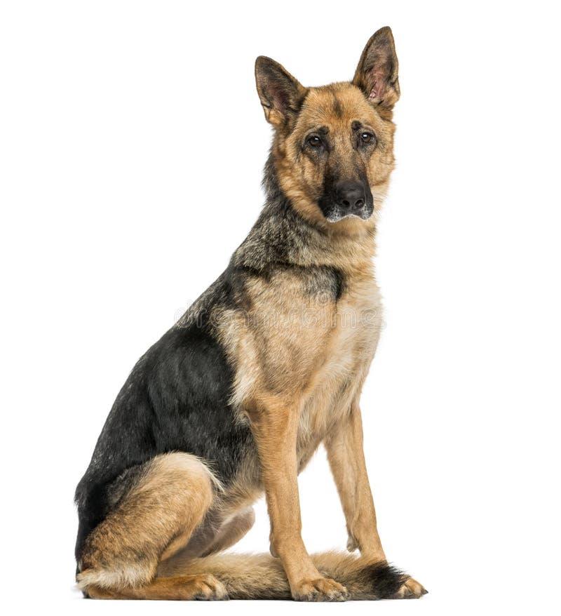 vieille s ance maigre de chien de berger allemand regardant l 39 appareil photo photo stock. Black Bedroom Furniture Sets. Home Design Ideas