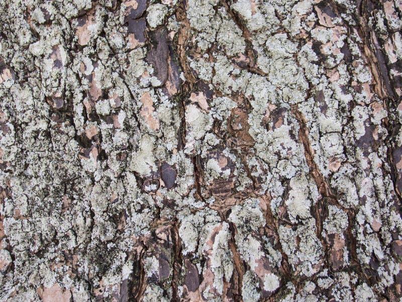 Vieille texture approximative de photo de plan rapproché d'écorce d'arbre Plan rapproché rustique de tronc d'arbre images stock
