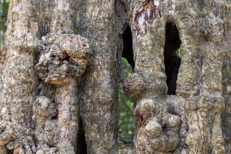 Vieille texture tropicale de tronc d'arbre Photo de plan rapproché d'écorce d'arbre Surface rustique de bois Arbre forestier avec photos libres de droits