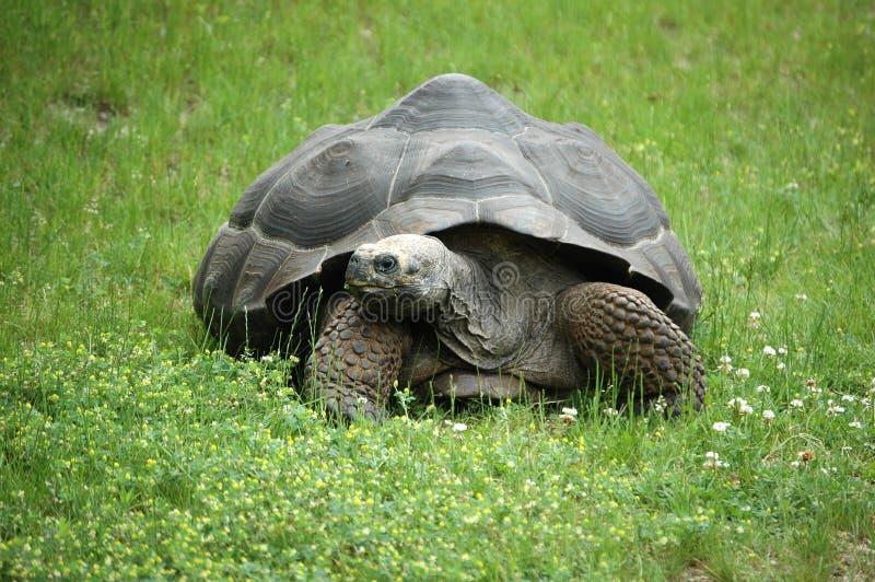 Vieille tortue photos libres de droits