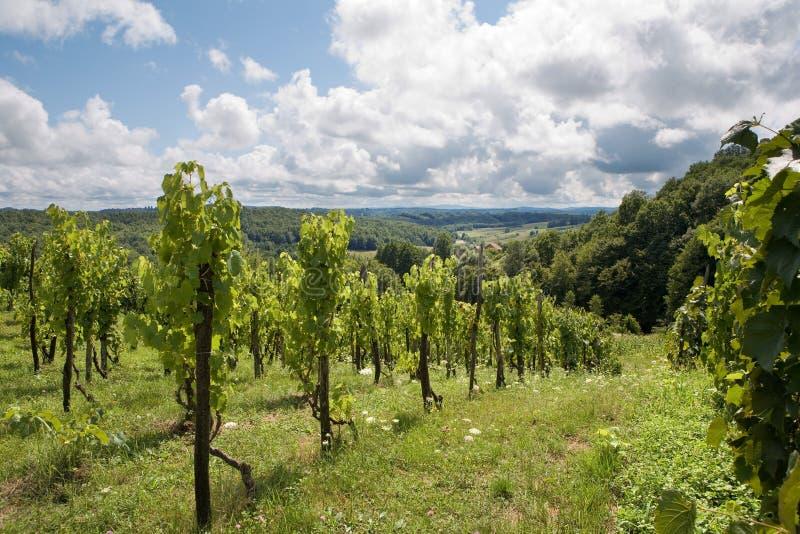 Vieille vigne photographie stock libre de droits