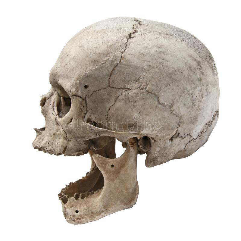 Vieille vue humaine de crâne de côté sans dents photos stock