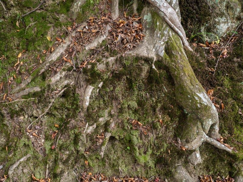 Vieilles racines d'arbre et tronc âgé avec de la mousse verte et les feuilles rouges photo stock