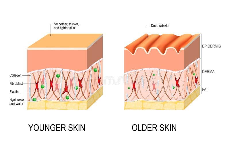 Vieillissement de peau différence entre la peau d'un jeune et plus âgé p illustration libre de droits
