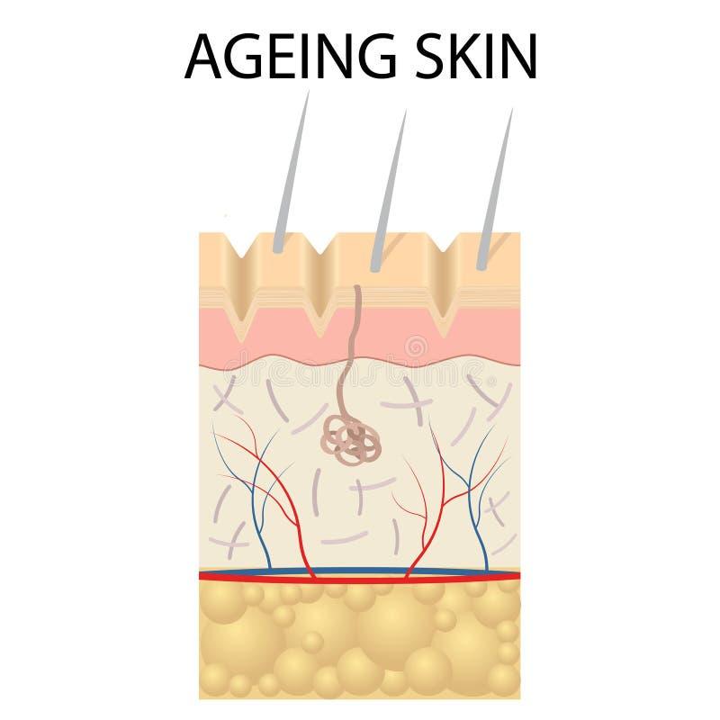 Vieja anatomía de la piel stock de ilustración