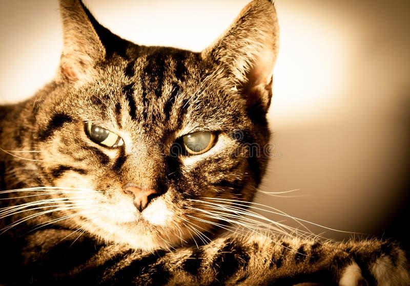 Vieja Cat With Cataracts imagen de archivo libre de regalías