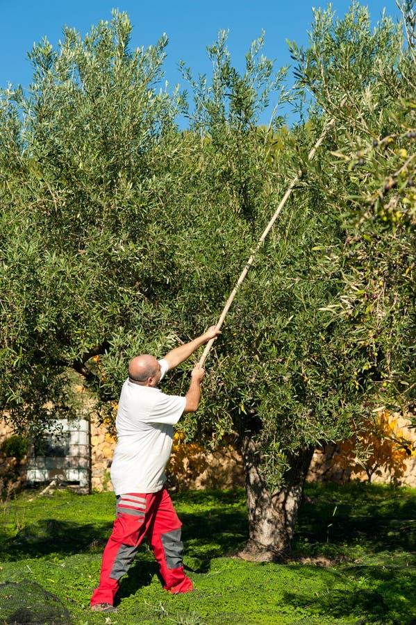 Vieja cosecha de la aceituna de los días foto de archivo libre de regalías
