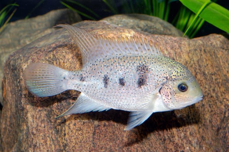 Vieja fish stock image