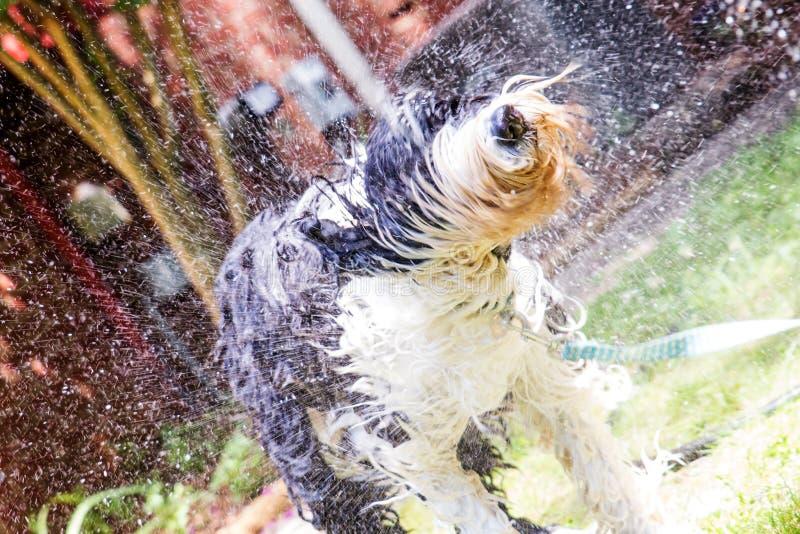 Vieja impregnación inglesa del perro pastor mojada y sacudida imagen de archivo libre de regalías