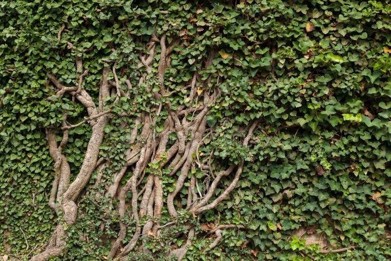 Vieja Ivy Detail imágenes de archivo libres de regalías